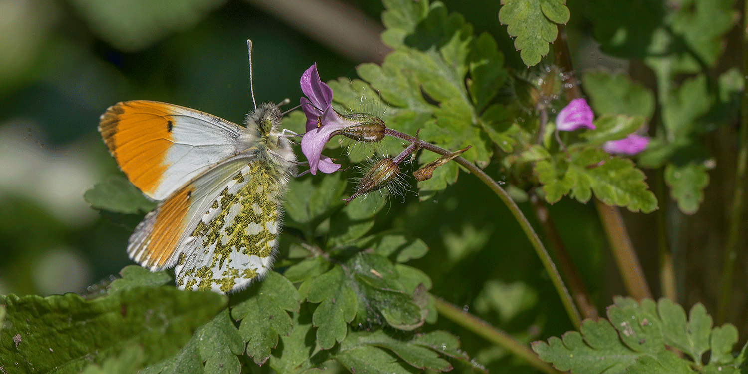Orange tip butterfly - Anthocharis-cardamines - c - Chris Lawrence - featured