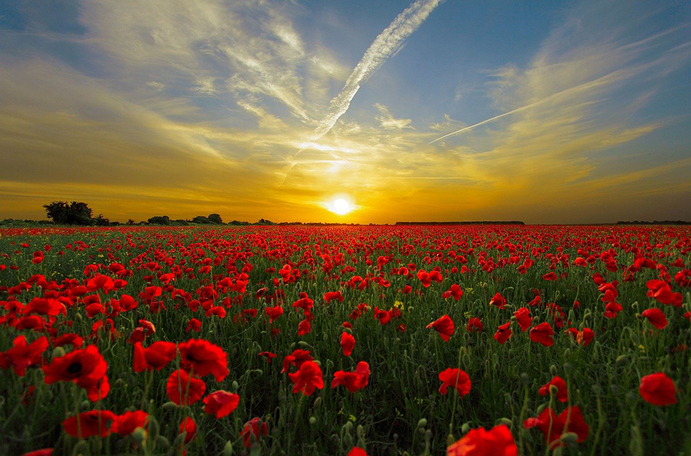 The Poppy and Remembrance